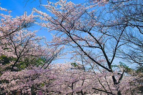 信貴生駒-桜01